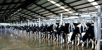 Thông báo tuyển 5-6 nam kỹ sư chăn nuôi bò sữa làm việc tại tỉnh Okayama Nhật Bản. Lương 42 triệu đồng/tháng