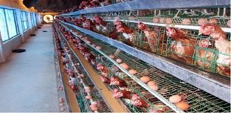 Thông báo tuyển dụng Thực tập sinh ngành Chăn nuôi làm việc tại Nhật Bản
