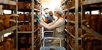 Thông báo tuyển Thực tập sinh ngành Nông nghiệp: Trồng và thu hoạch nấm làm việc tại Nhật Bản tháng 10/2018