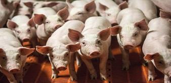 Tuyển 4 nam kỹ sư chăn nuôi thú y đi làm việc tại trang trại lợn tỉnh Iwate Nhật Bản. Lương 52 triệu/tháng